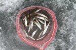빙어 뱃속은 '프로바이오틱스' 유산균 한가득