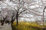 """[청계천 옆 사진관] """"꽃길만 걸으세요""""  윤중로 벚꽃길 즐기는 방법"""
