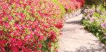 분홍빛 화담숲 '진달래·철쭉 축제'
