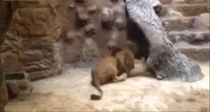 동물원서 수사자가 암사자 물어 죽이는 장면 포착 '경악'