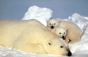 북극곰 개체 수 급감, 새끼 곰 80마리 중 2마리 살아남아… 이유는?