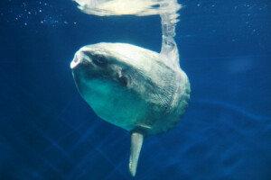 개복치 특징, 최대 2t 초대형 물고기… 생김새와 달리 예민?