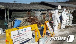 [화보] 4년만에 되살아난 '구제역 악몽'… 하루동안 4곳서 의심신고 접수
