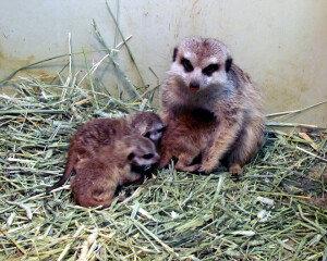 울산대공원, 미어캣 새끼 3마리 출산… '귀여워요!'