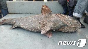 '전설의 심해어' 돗돔, 영덕 강구항 근해서 잡혀…길이 150cm·몸무게 80kg