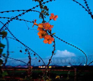 [손 내밀면 닿을 듯… DMZ] '그리움의 꽃' 능소화