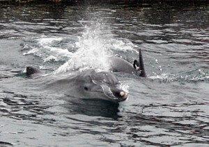 [화보] '불법 포획' 남방큰돌고래 태산-복순이, '6년만에 고향바다로…'