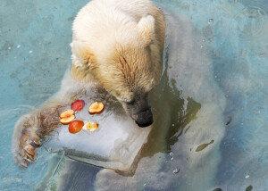 북극곰의 더위사냥…'과일얼음 먹고 껴안고'