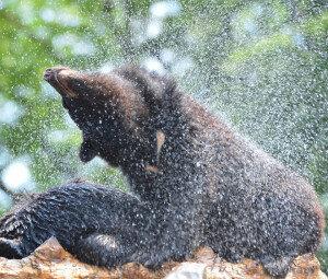 [화보] 반달가슴곰의 무더운 여름 나기… '시원하쥬?'