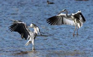 포항 형산강서 물고기 사냥중인 왜가리