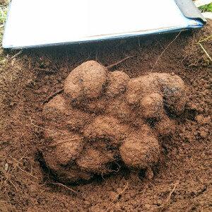 세계 최대 송로 버섯 발견! 무려 1.5kg