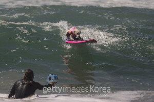 [화보] 美 서핑대회에 참가한 강아지들 '수준급 실력'