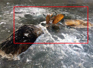 물에 빠져 얼어버린 사슴… 싸우다 같이 죽은 동물들
