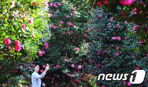 [화보] 제주서 만개한 동백꽃