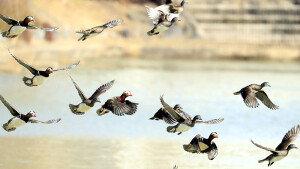 꽃샘 추위속 원앙가족들의 힘찬 날개짓
