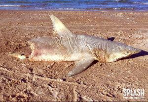 '반토막 난 상어' 누가 상어를 물어뜯었을까?