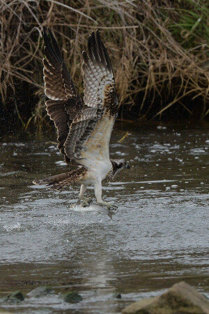 '명품 사냥기술' 뽐내는 멸종위기 2급 물수리