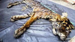 가죽만 남은 호랑이 <br>압수된 야생동물 가죽