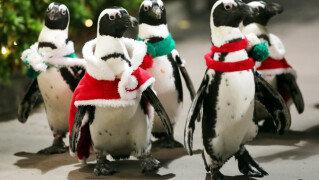 펭귄에게 산타 옷 입히고…<br> 크리스마스 준비하는 수족관