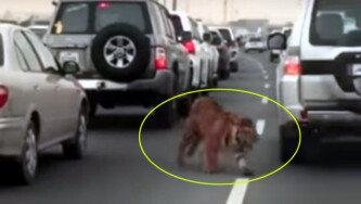 호랑이가 고속도로에…알고보니 흔한 펫?