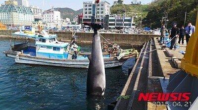 거제 인근 해상서 숨진 채 발견된 밍크고래
