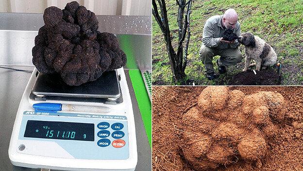 세계 최대 송로버섯 발견! 무게 1.5kg, 가격은?