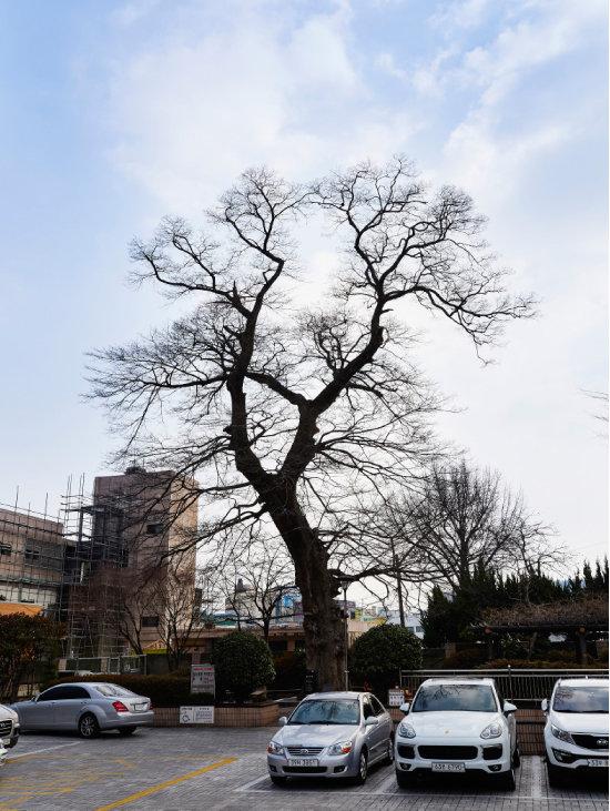 조선시대 관아터에 서 있는 500년 된 푸조나무. 조선시대에는 이 푸조나무 아래가 마을 사람들이 만나는 장소였다. [홍중식 기자]