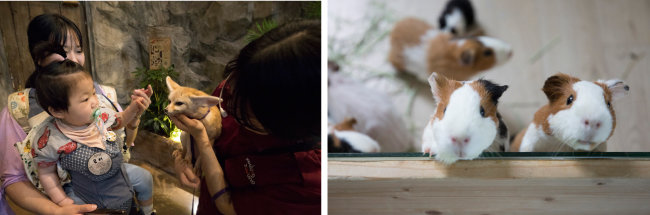 난생처음 사막여우를 만져보는 어린이.(왼쪽) 항상 배고픈 기니피그들. [지호영 기자]