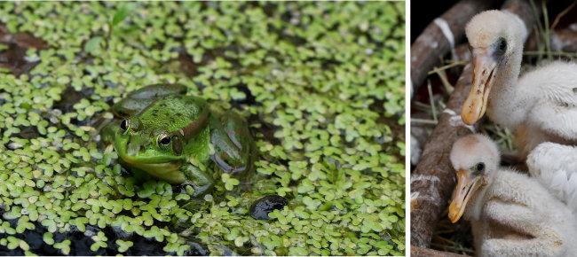 금개구리는 개체 수가 늘면서 매년 자연 습지에 방사하고 있다.(왼쪽) 저어새 새끼. 넓은 부리를 물에 넣고 휘저어 먹는다 해서 '저어새'로 불린다.