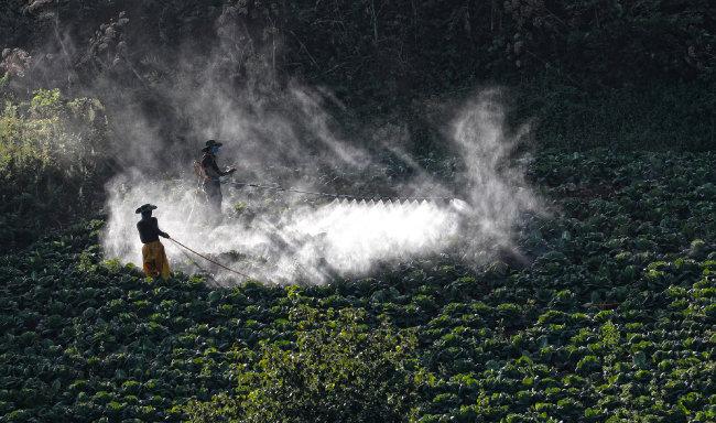 배추 수확을 앞두고 막바지 작업으로 분주한 농부들.