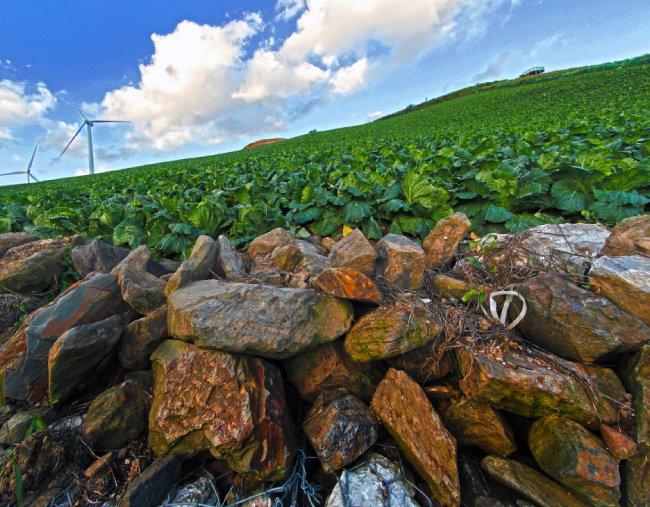 돌밭을 일궈 만든 고랭지 배추밭은 농부가 척박한 땅에 피워낸 풍요의 상징이다.