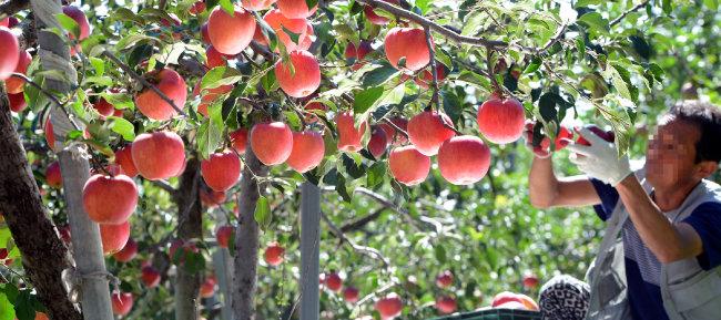 충북 괴산군 한 과수원에서 사과 홍로를 수확 중인 모습. [뉴시스]