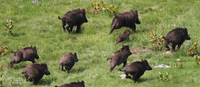 미국 '巨大 멧돼지' 호그질라 탄생기