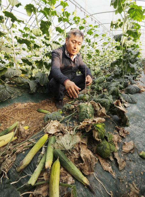 3월 8일 공주시 우성면 농민 오석주 씨가 비닐하우스에서 수확 중인 오이를 살피고 있다. 물이 부족해 오이가 말라 있다. [박해윤 기자]