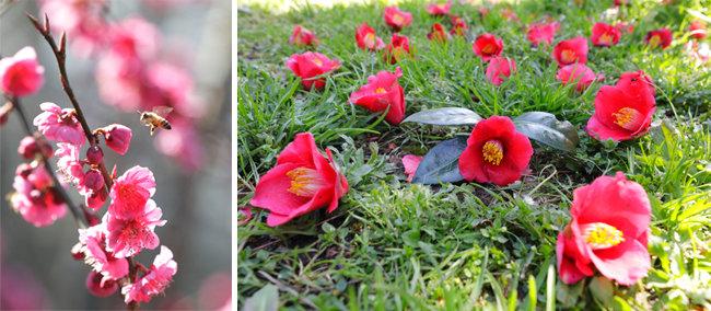 벌을 유혹하는 홍매화. 휴애리 자연생활공원.(왼쪽) 붉은 동백꽃은 이미 지고. 휴애리 자연생활공원. [박해윤 기자]