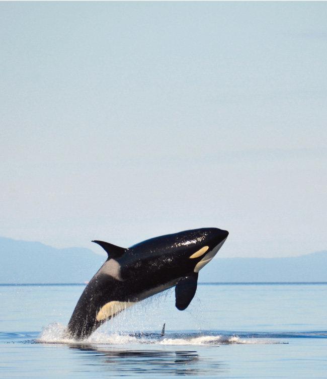 바다에서 자유롭게 헤엄치는 범고래. [shutterstock]