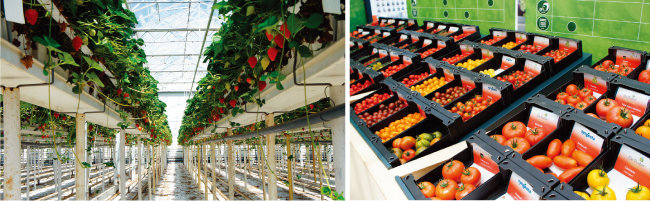 네덜란드 딸기 스마트팜의 유리온실 내부 모습.(왼쪽) 네덜란드 스마트팜의 생산성은 우리나라의 10배로 농업 경쟁력을 극대화했다. 스마트팜 수확 작물들. [사진 제공·푸르메재단]