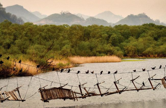 2017년 강원 철원 용양보 위에 아슬아슬하게 이어진 다리에 철새들이 줄지어 앉아 있다.