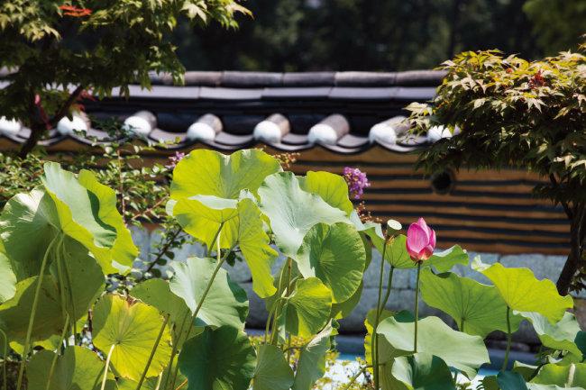 어린이집 앞마당 담장을 따라 심어진 연잎과 연꽃.
