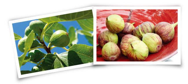 열매 형태를 갖춘 무화과(왼쪽)와 잘 익은 무화과.