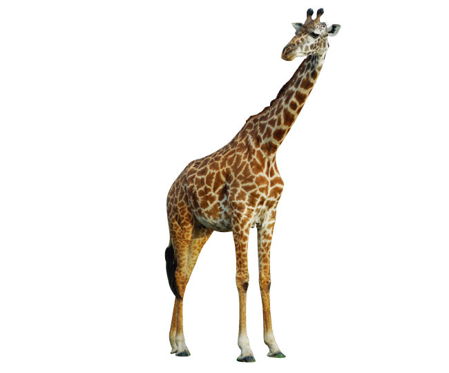 세렝게티에서 가장 처음 만난 동물인 기린.