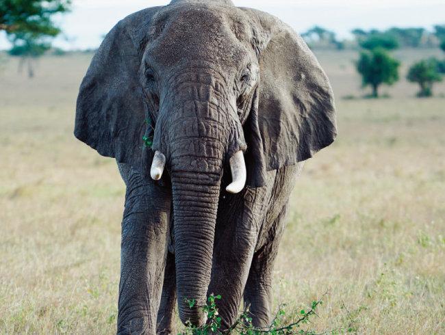 게임 드라이브 차량 쪽으로 다가온 코끼리.