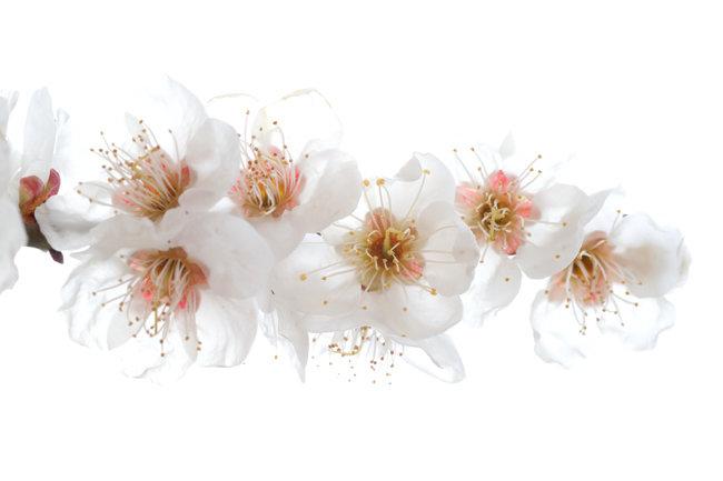 활짝핀 매화 꽃을 클로즈업 촬영.