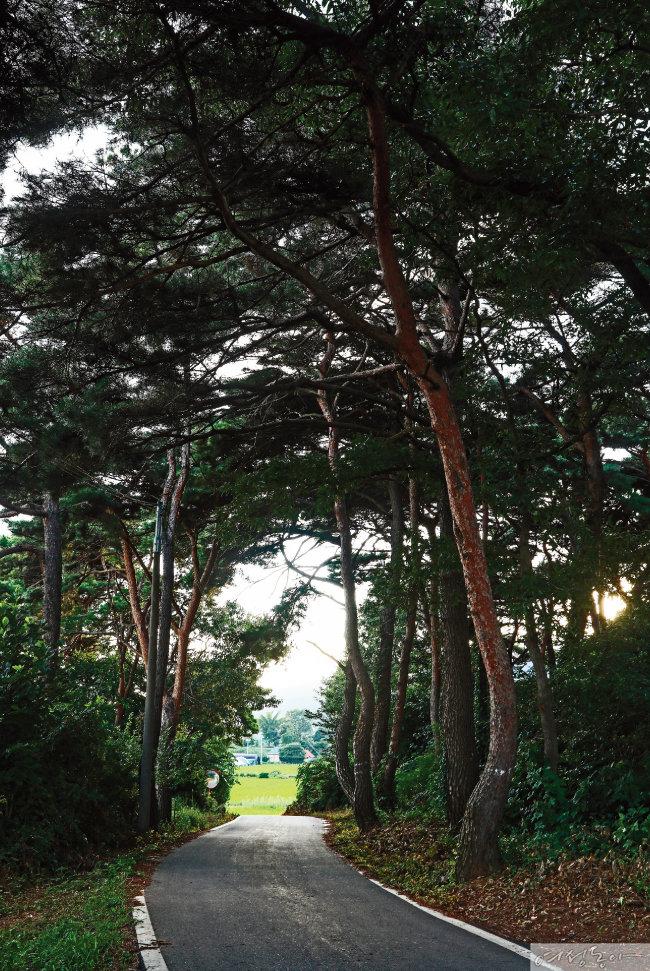 강화 생태숲 나들길 14코스에는 왕을 배출한 용흥궁도 있고, 강화성당과 군사시설인 남장대도 있다. 이 다양한 장소가 모두 강화도의 역사를 이야기해준다. 용흥궁 뒤 소나무숲도 힘겹게 왕궁의 격조를 지켜온 듯하다.