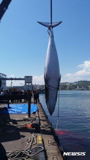 바다의 로또 밍크고래 동해안서 잇단 어획