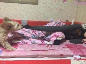 """엄마 늦었어, 일어나세요!"" 강아지의 특급 알람"