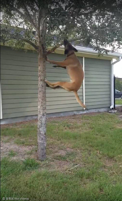 """""""개야 원숭이야"""" 체조선수 뺨치는 개의 나무타기 도전"""