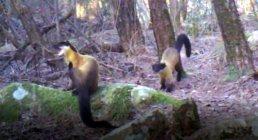 멸종위기종 2급 '노랑목도리담비' 무등산 곳곳서 발견