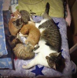 어미 잃은 아기고양이들 돌보는 보모 고양이