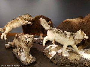 '뭉치면 살고, 흩어지면 죽는다'…사향소가 늑대에 맞서는 방법